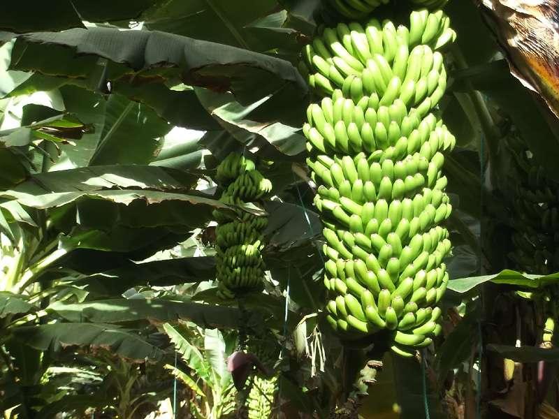 Banana Experience